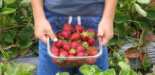strawberries at littlewood berry farm